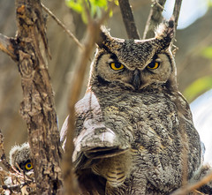 Great Horned Owl (Bubo virginianus) (fugle) Tags: nest nevada owl greathornedowl bubo nestling owlet