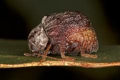 Cadmus (Lachnabothra) tasmaniae (zosterops) Tags: macro australia tasmania hobart ringflash coleoptera chrysomelidae insecta kenkoextensiontubes knockloftyreserve canonmr14ex canonmacrolensef100mm canoneos550d cadmuslachnabothratasmaniae