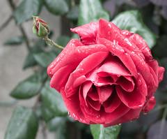 2014_031 (casirfm) Tags: flowers macro closeup canon drops may fiore maggio 2014 casirfm canoneos1100d