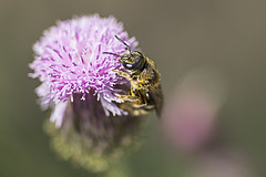 Bee on Flower(  ) (Johnnie Shene Photography(Thanks, 1Million+ Views)) Tags: flowers wild plants plant flower colour macro nature animal animals horizontal closeup canon bug insect lens outdoors photography eos rebel living kiss image outdoor wildlife bees 11 images bugs bee honey 28 tamron 90mm 90 f28 t3i x5 organism  600d