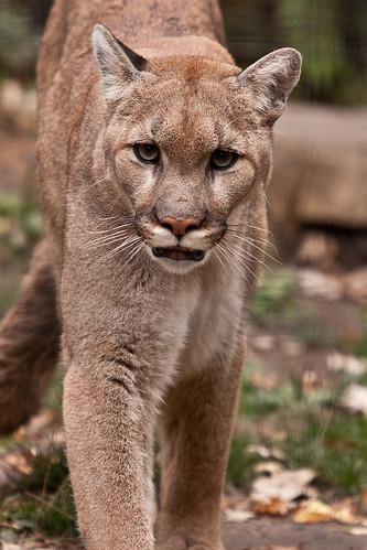 puma lincoln park zoo