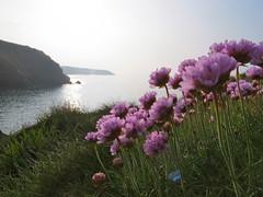 Coast path Paarse bloempjes