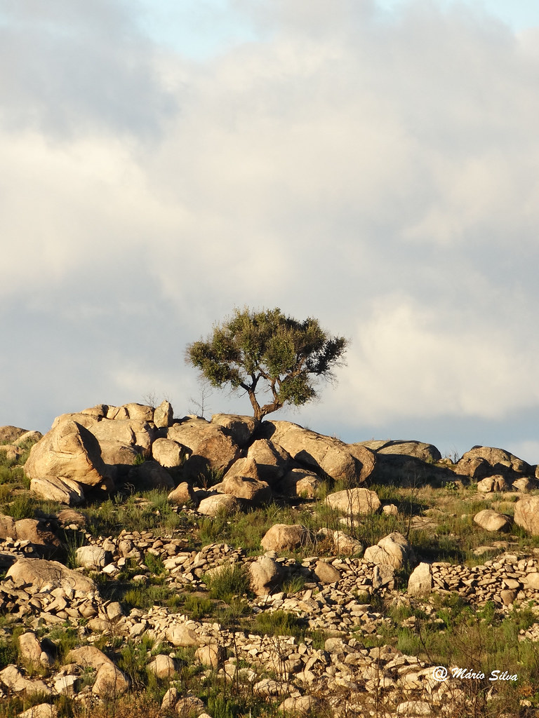 Águas Frias (Chaves) -  ... a árvore solitária ...