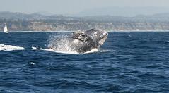 One more time (marystavros@sbcglobal.net) Tags: whales breach graywhale nikond90 captaindavesdolphinsafari