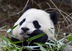 Bao Bao the Giant Panda (Ailuropoda melanoleuca)_DSC0043 (ikerekes81) Tags: mammal zoo washingtondc dc nationalzoo giantpanda baobao dczoo ailuropodamelanoleuca smithsoniannationalzoologicalpark washingtondczoo