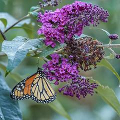 monarch_10122014 (megan-ralph) Tags: usa monarchdanausplexippus