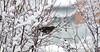 Seen in the garden (aixcracker) Tags: winter white snow bird suomi finland vinter day february dag lumi talvi snö porvoo iso1600 februari fågel lintu vit päivä borgå helmikuu valkoinen nikond800