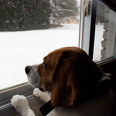 Watching Cam Shovel (Jules (Instagram = @photo_vamp)) Tags: dog snow snowstorm february barney