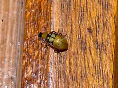 Kfer (Eerika Schulz) Tags: bug ecuador beetle kfer ecuagenera