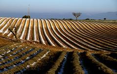 Promise of scents - Promesse de senteurs (dubus regis) Tags: snow france alpes de plateau lavender olympus neige e3 provence hautes lavandes valensole sillons