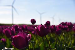 Fijne moederdag - Happy mother's day (ZieZoFoto.com Take your time :)) Tags: color green windmill purple nederland tulip tulpen windmolen bollenveld