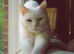 Charlie (rootcrop54) Tags: rescue white male cat chat sweet charlie kitteh  macska gatto katzen kot koka kedi katt kissa kttur maka kucing  allwhite   kat  maek kais pisic gorbe