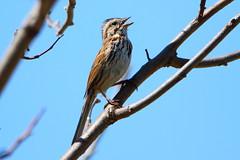 Song Sparrow (Daniel Taieb) Tags: song sparrow songsparrow mckenziemarsh