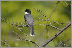 {Eastern Kingbird Cameo} (Wolverine09J ~ 1 Million + Views) Tags: heart songbird northamerican easternkingbird tyrantflycatcher springwildlife naturesgallery heartawards fantasticnaturegroup shadyoakandeagles