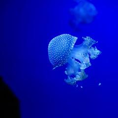 Floating jellyfish 1 (Zambo667) Tags: animals jellyfish acquarium genova