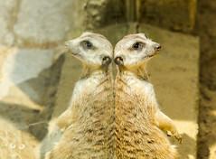 Erdmnnchen | Meerkat (j_vogt) Tags: reflection animals germany de bayern deutschland zoo tiere meerkat tierpark spiegelung augsburg suricate suricatasuricatta erdmnnchen mirroring augsburgerzoo