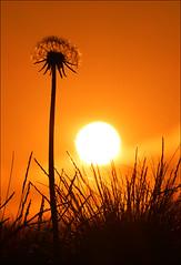 Sunset, Dell Estate (McRusty) Tags: light sunset orange beautiful grass silhouette scotland back glow estate natural outdoor jour dandelion highland dell lit contre stratherrick