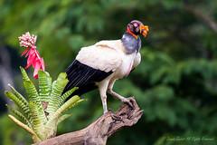 King Vulture-0128 (Sarcoramphus papa).  Please view large. (dennis.zaebst) Tags: bird animal costarica outdoor ngc vulture scavenger centralamerica kingvulture naturesspirit naturethroughthelens