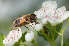 Eristalis pertinax / Kegelbijvlieg (peter.lindenburg) Tags: hoverfly syrphidae vaals zweefvlieg eristalispertinax kegelbijvlieg elzetterbos
