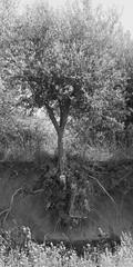SDIM9986-sd1- Ulivo (ciro.pane) Tags: italien italy italia sigma sorrento albero capo italie merrill foveon ulivo sd1