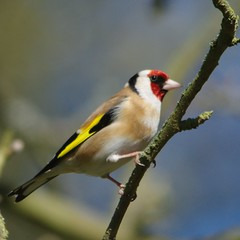 IMGP9413 Goldfinch, The Lodge, Sandy, April 2016 (bobchappell55) Tags: wild bird nature wildlife goldfinch sandy reserve thelodge rspb