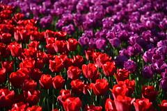 Diagonaal tulips (ZieZoFoto.com Take your time :)) Tags: red holland netherlands colors purple tulips nederland nl rood bloemen tulpen paars zeewolde kleuren bollenveld tulpenveld