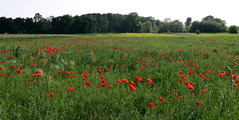 Ponceau field (Majorimi) Tags: blue red sky flower color colour tree green nature beautiful field grass digital canon eos nice flora colorful hungary calm poppy ponceau 70d