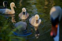 DSC00474_G+_1200 (bianka.spindler) Tags: park macro river germany deutschland spring swan sony mm fluss baden schwan 90 frhling schwne wrttemberg gmaster enz schwanenkken wurttemberg enzauenpark a7r