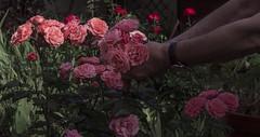 """J171/365  """"Douce strangulation"""" (manon.ternes) Tags: paris photos photography photographie projet365 personne projet pink parisienne project personnes potique 365project 365days 365 tudiante student challenge men fleurs flowers nature love weird strange bizarre violence"""