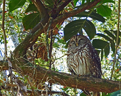 Barred owl Leu Gardens (Nick.Bayes) Tags: gardens owl barred leu