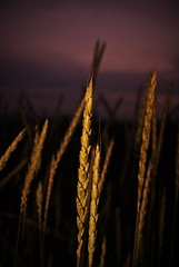 (Mango*Photography) Tags: life light sky abstract reflection nature colors barley gold evening corn artistic creative surreal photoraphy fields conceptual giulia bergonzoni