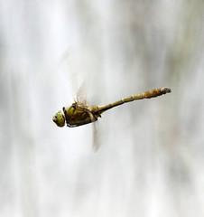 Downy Emerald (Male) (NewForestDragonflies) Tags: macro insect dragonflies dragonfly downy newforest odonata downyemerald