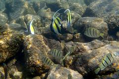 Kailua Pier Diving - IX (Anders Magnusson) Tags: water hawaii snorkel dive diving olympus thebigisland eastcoast kailua kailuakona andersmagnusson