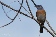 Western Bluebird (bessieyliu) Tags: mexicana western bluebird sialia