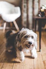 Happy Piper | Houston (The Dame of all Trades) Tags: travel dog pets 50mm mutt texas houston wanderlust travelblog petphotography htx dallasphotographer canon6d dallasblogger