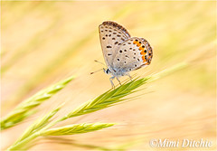 Dainty Butterfly (Mimi Ditchie) Tags: macro closeup butterfly insect weeds getty gettyimages mimiditchie mimiditchiephotography