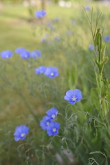 Fleurs de lin de mon jardin (agonatur) Tags: