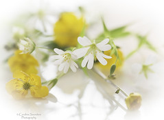 Buttercups and chickweed (saundersc29) Tags: white macro nature yellow reflections spring wildflowers buttercups chickweed sigma105mm