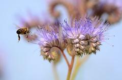 Ready for landing (Rene Mensen) Tags: bee flower nature nikkor nikon emmen drenthe d5100 rene mensen wings flying