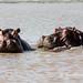 Lake Chamo hippopotamus