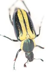 Macrodactylus sp.2014-10-20CSNGA_2749 c (mcclarinj) Tags: ecuador jim napo scarabaeidae mcclarin macrodactylus cosanga