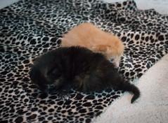 IMG_9478 (jaglazier) Tags: usa cats playing cute animals babies unitedstates tiger may indiana kittens siblings bloomington mammals blackie 2016 52416 copyright2016jamesaglazierandjamesaferguson