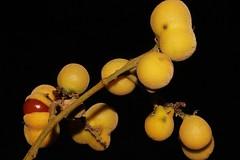 Diploglottis obovata (andreas lambrianides) Tags: australianflora australiannativeplants sapindaceae arfp australianrainforests australianrainforestplants qrfp arffs australianrainforestfruits greenarffs diploglottisobovata bluntleavedtamarind