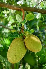 Mounts Botanical Garden (DanGarv) Tags: florida palmbeach jackfruit 810 mountsbotanicalgarden mountsbotanical