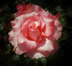 Salmon ruffle vignette (MissyPenny) Tags: plant flower rose garden pennsylvania peach salmon buckscounty bristolpennsylvania pdlaich