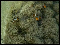 False Clown Anemonefish Snorkeling Pulau Besar Perhentian Islands Malaysia (Globetrotteur17) Tags: snorkeling perhentian kecil besar poissonclown
