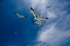 (li-penny) Tags: japan seagull  miyagiken    matsushimabay sigma1770mmf2845dcmacrohsm shiogamashi pentaxk3 2016tokyosendaitrip