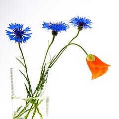 Kornblumen und Klatschmohn (photalena) Tags: blue red flower poppy highkey kornblume