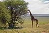 Giraffe 9-101 (Grete Howard) Tags: golkopjes kopje serengeti tanzania safari safariinafrica bestsafarioperator bestsafaricompany whichsafaricompany whichsafarioperator animals animalphotos animalsofafrica africa africansafari africanbush africananimals animal birds birdwatching birding gamedrive