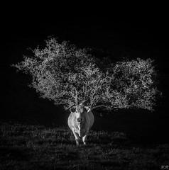 La reine des prs (imagene74) Tags: animaux campagne champ vache prs
